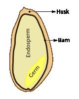Grain Anatomy